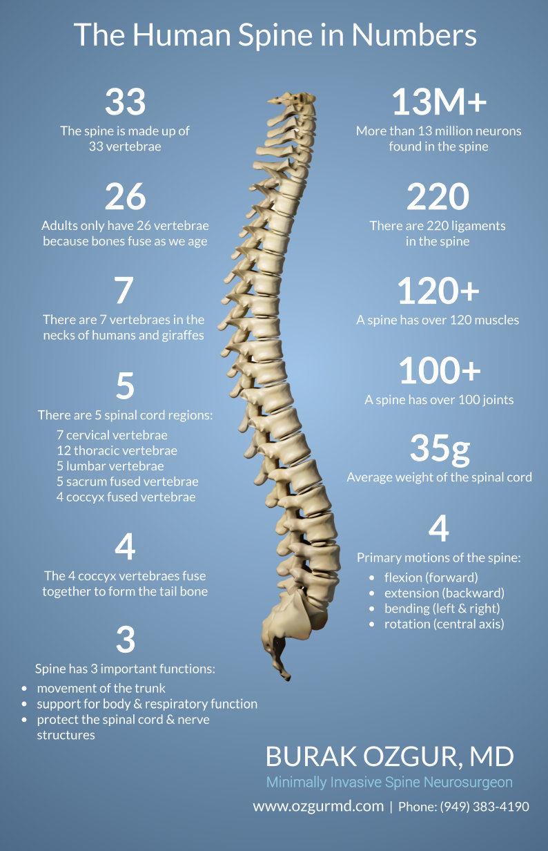 Vertebrae anatomy numbers